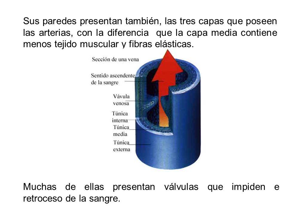 Sus paredes presentan también, las tres capas que poseen las arterias, con la diferencia que la capa media contiene menos tejido muscular y fibras elásticas.