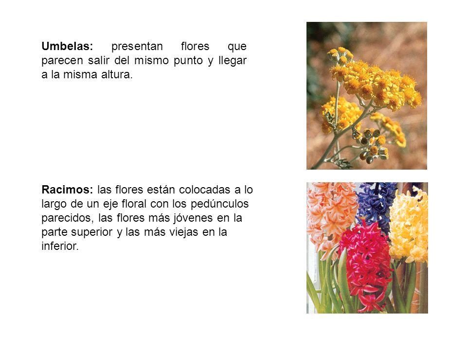 Umbelas: presentan flores que parecen salir del mismo punto y llegar a la misma altura.
