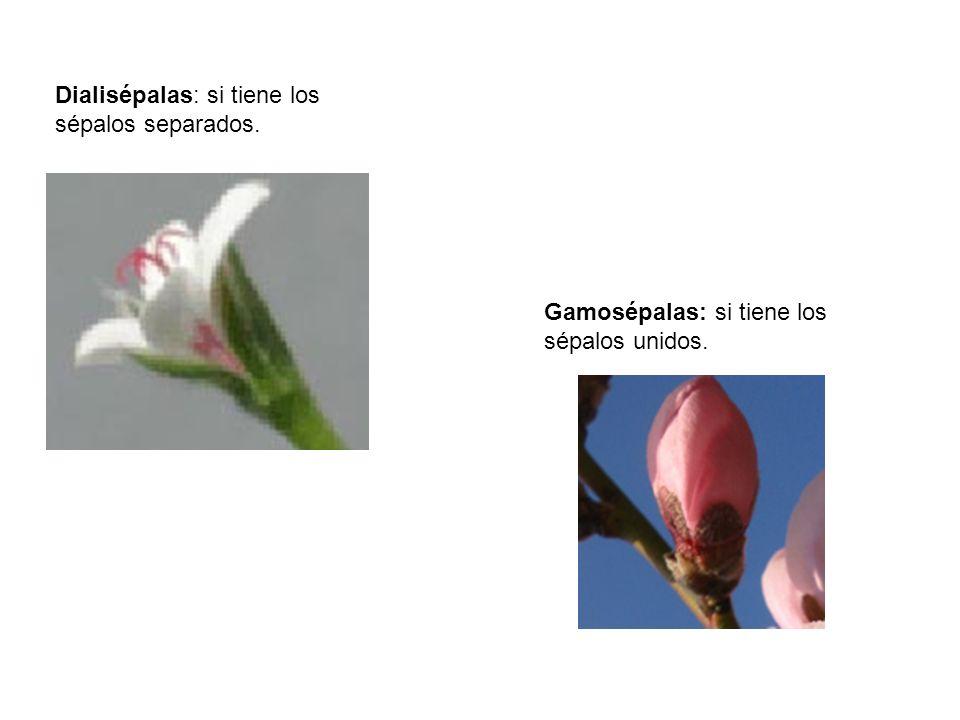 Dialisépalas: si tiene los sépalos separados.
