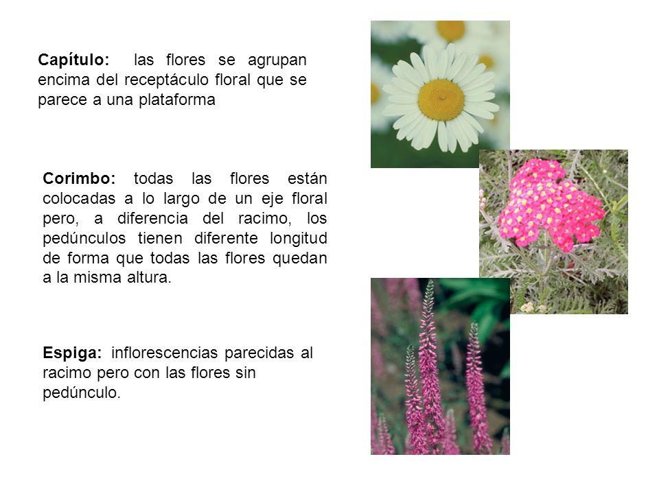 Capítulo: las flores se agrupan encima del receptáculo floral que se parece a una plataforma