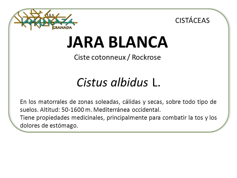 JARA BLANCA Ciste cotonneux / Rockrose