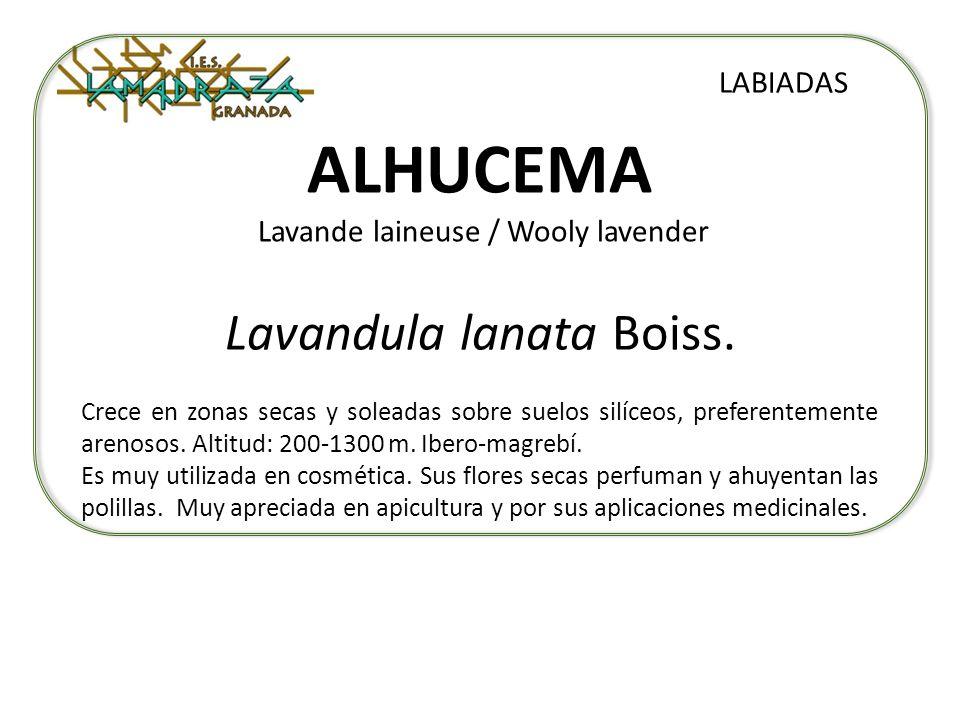 ALHUCEMA Lavande laineuse / Wooly lavender
