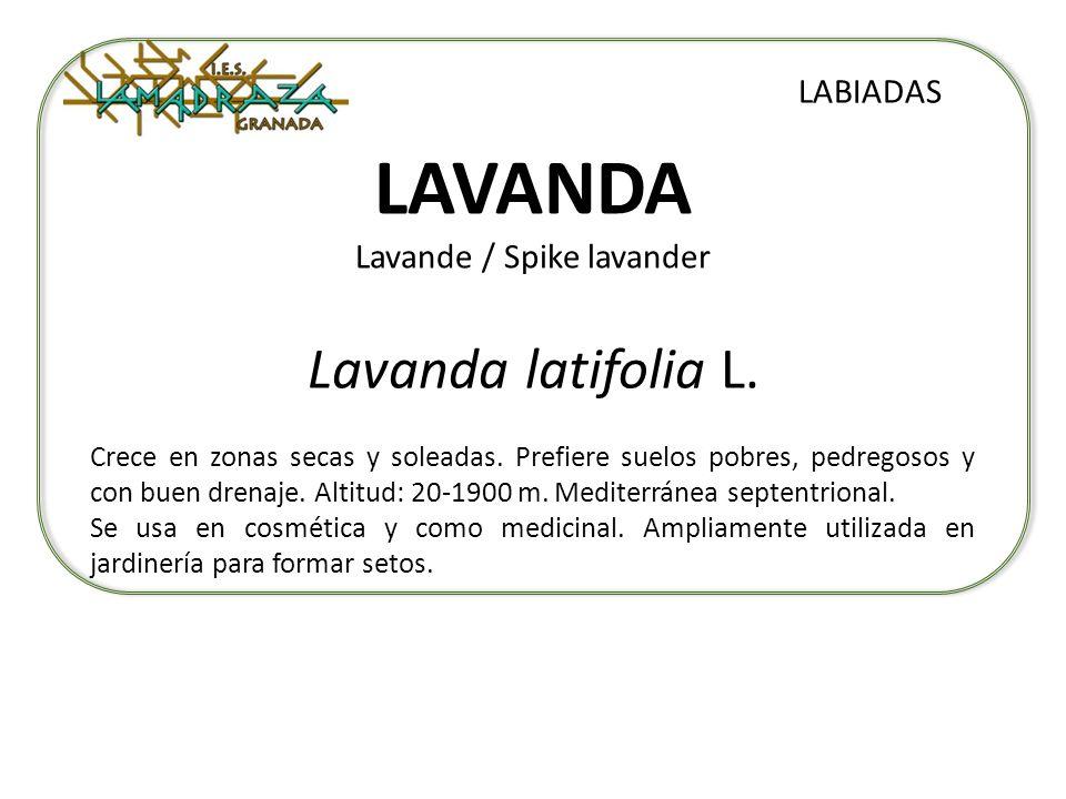 LAVANDA Lavande / Spike lavander