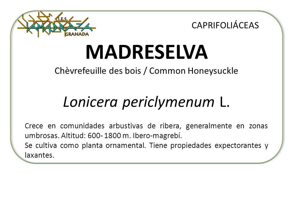 MADRESELVA Chèvrefeuille des bois / Common Honeysuckle