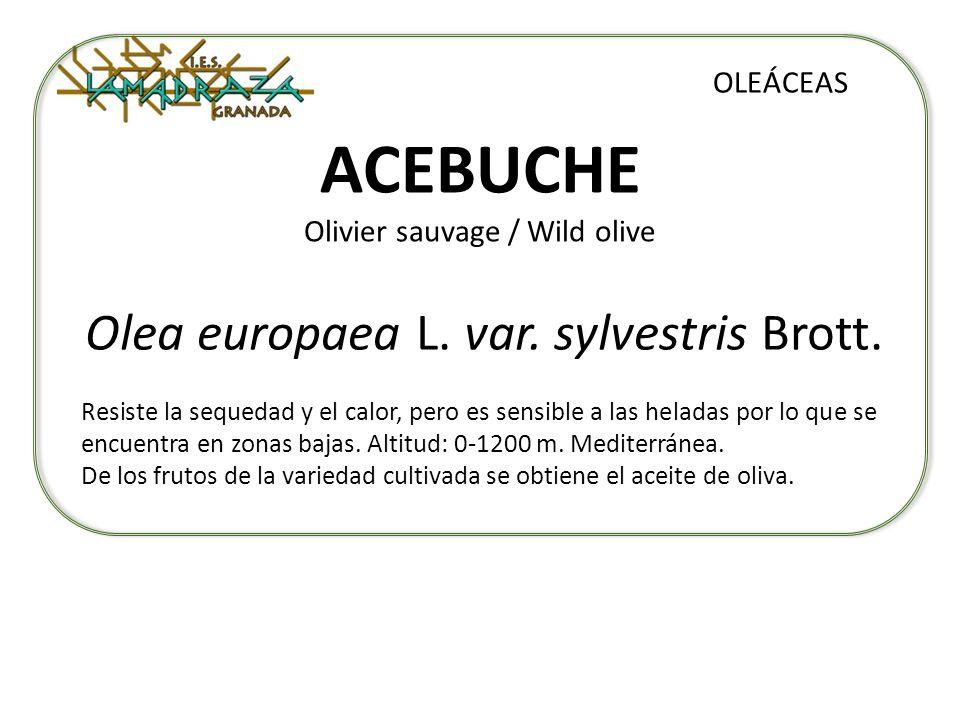 ACEBUCHE Olivier sauvage / Wild olive