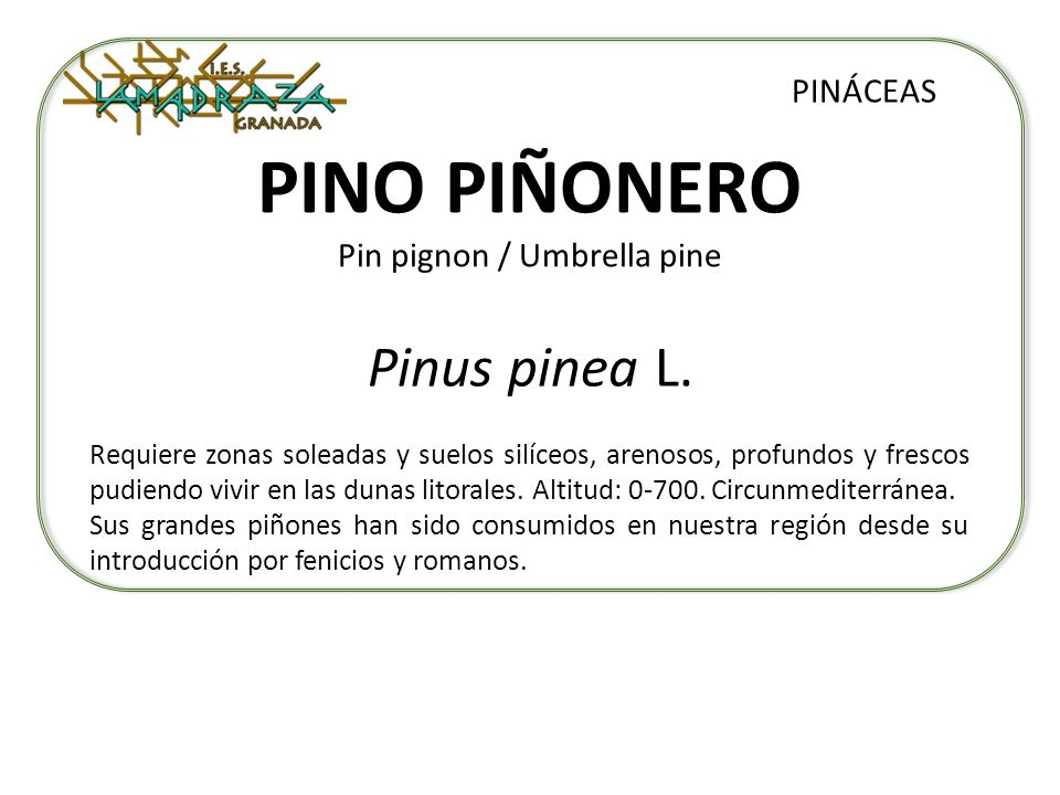 PINO PIÑONERO Pin pignon / Umbrella pine