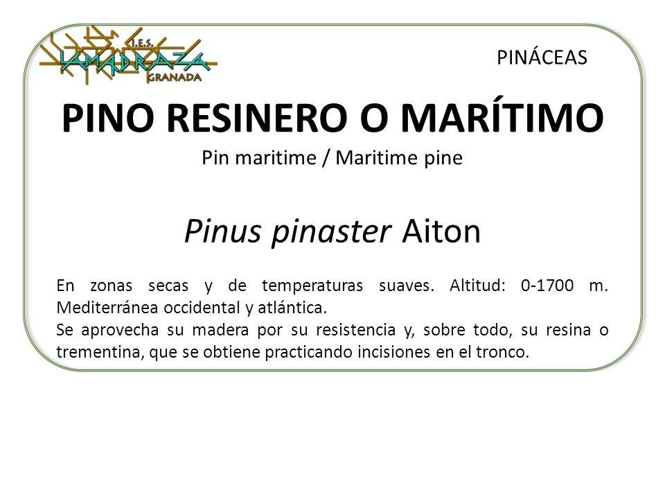 PINO RESINERO O MARÍTIMO Pin maritime / Maritime pine