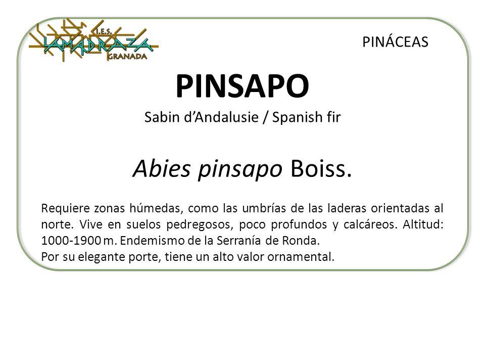 PINSAPO Sabin d'Andalusie / Spanish fir