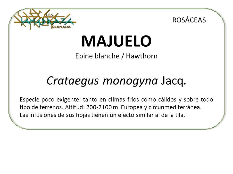 MAJUELO Epine blanche / Hawthorn