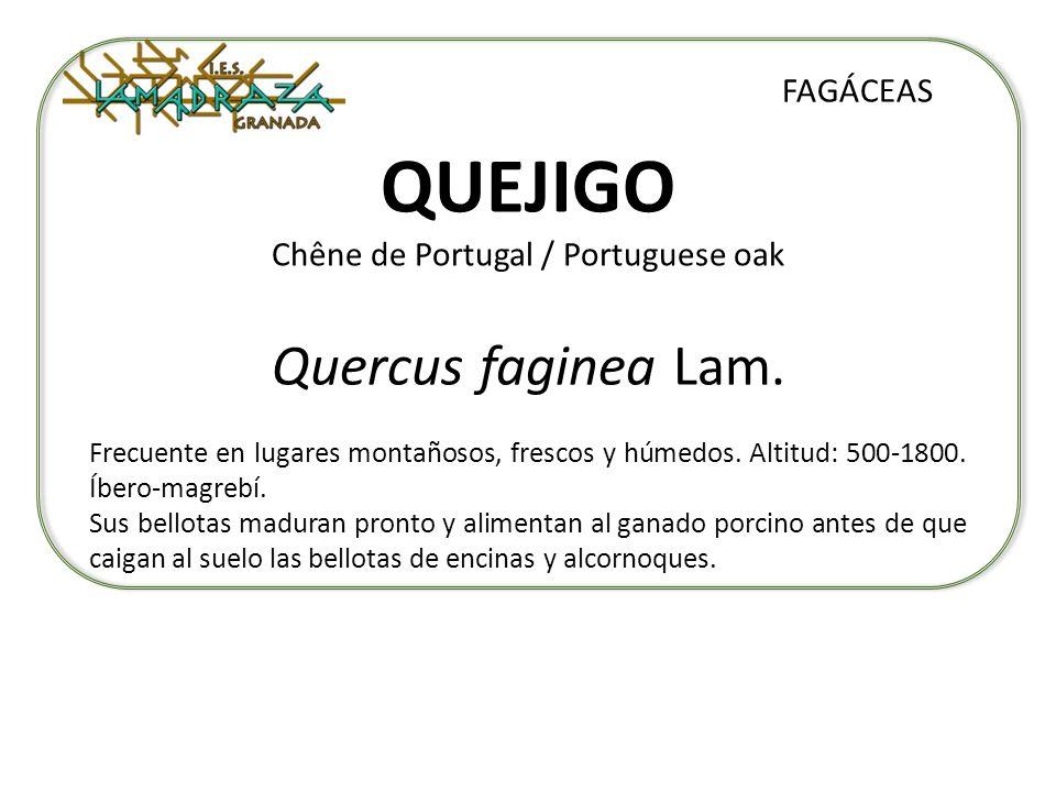 QUEJIGO Chêne de Portugal / Portuguese oak