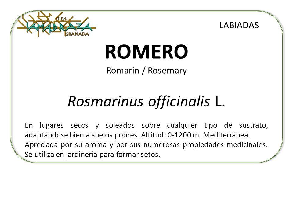 ROMERO Romarin / Rosemary