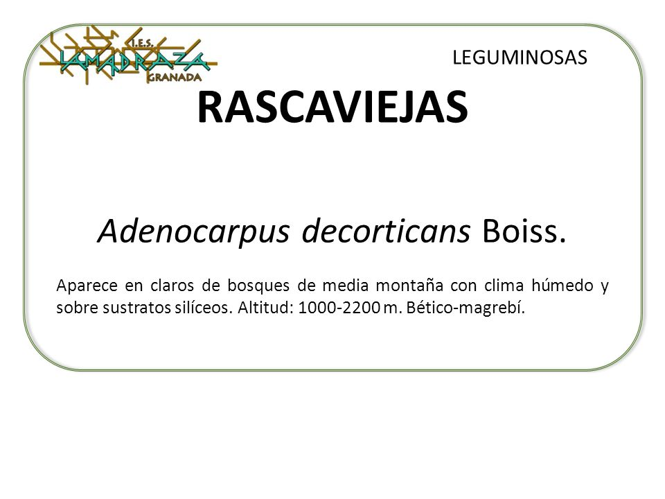 Adenocarpus decorticans Boiss.