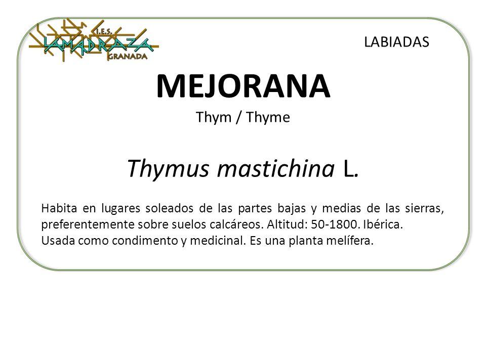MEJORANA Thym / Thyme Thymus mastichina L. LABIADAS