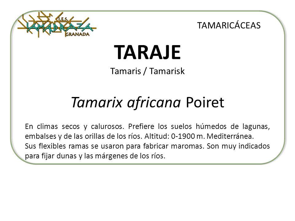 TARAJE Tamaris / Tamarisk