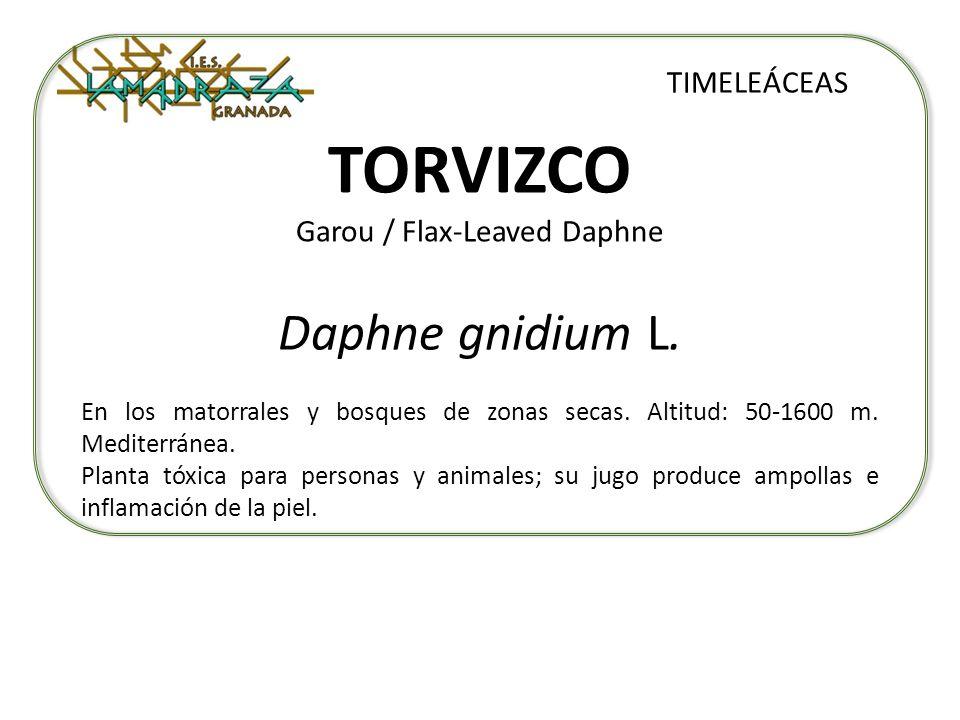 TORVIZCO Garou / Flax-Leaved Daphne