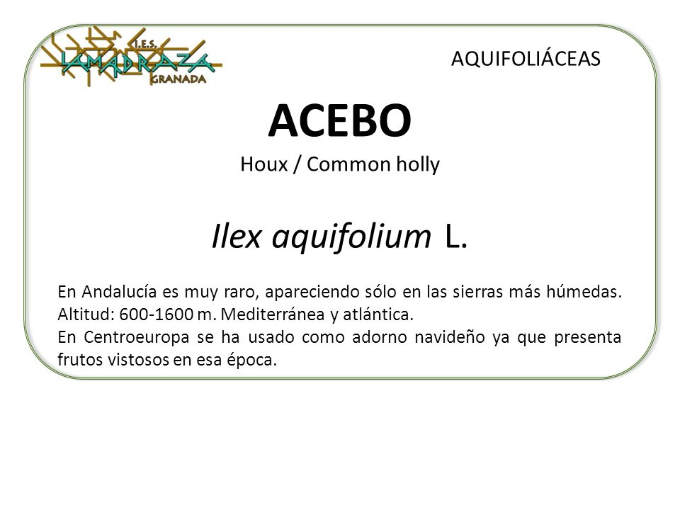 ACEBO Houx / Common holly