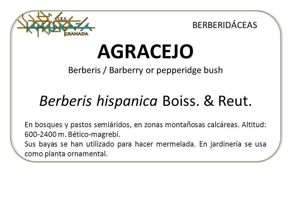 AGRACEJO Berberis / Barberry or pepperidge bush