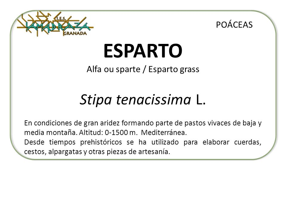 ESPARTO Alfa ou sparte / Esparto grass