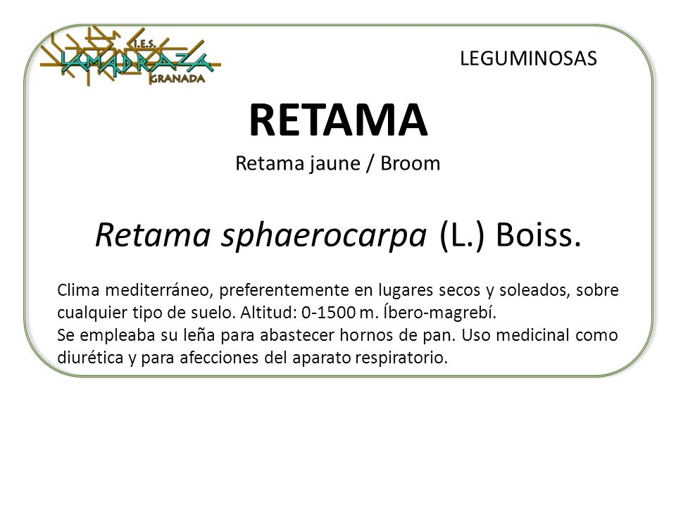 RETAMA Retama jaune / Broom