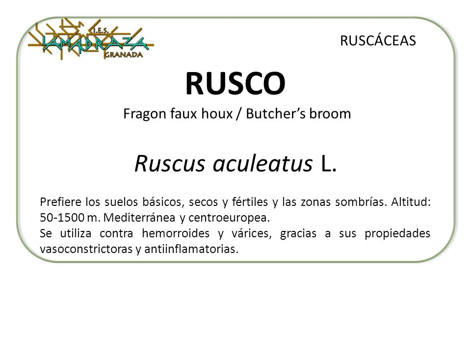 RUSCO Fragon faux houx / Butcher's broom