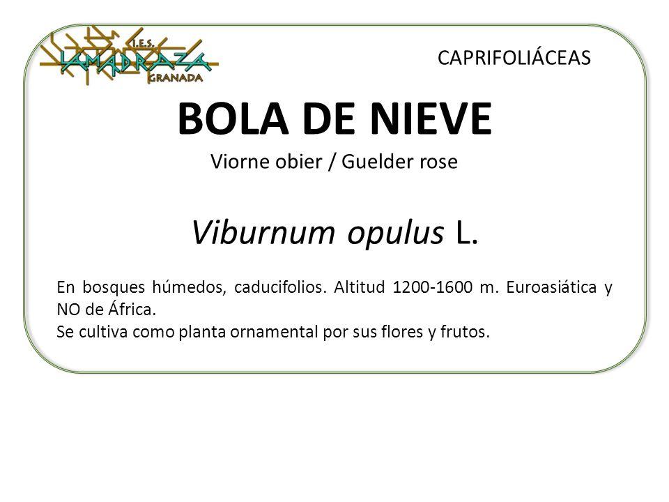 BOLA DE NIEVE Viorne obier / Guelder rose