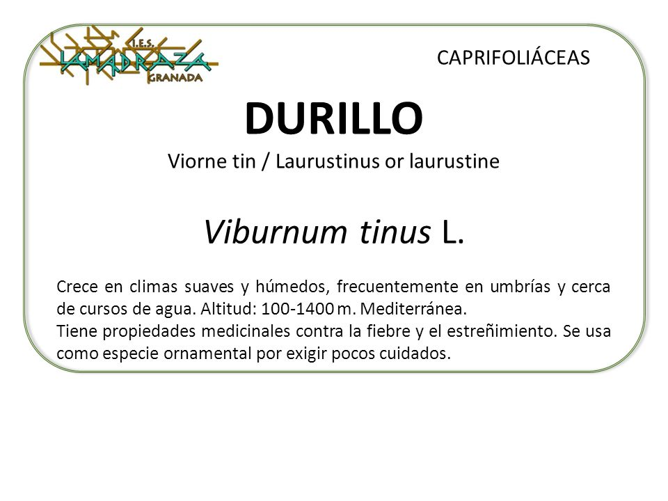 DURILLO Viorne tin / Laurustinus or laurustine