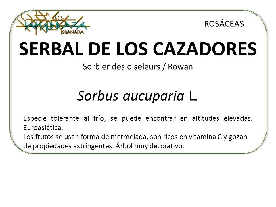 SERBAL DE LOS CAZADORES Sorbier des oiseleurs / Rowan