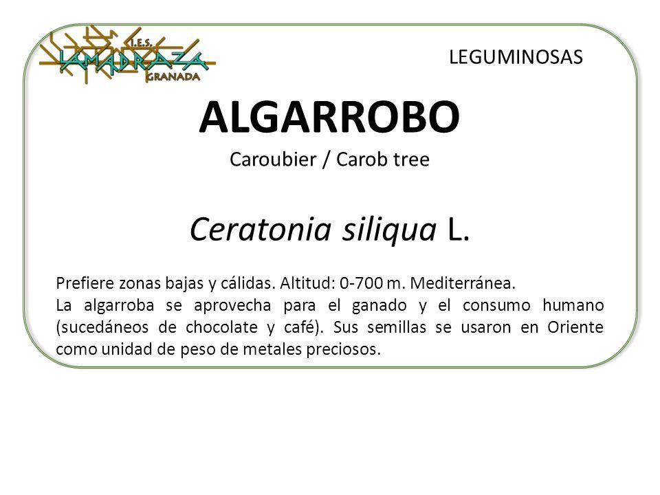 ALGARROBO Caroubier / Carob tree