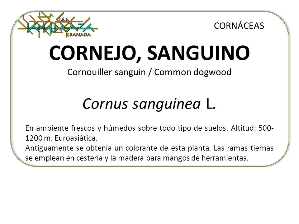 CORNEJO, SANGUINO Cornouiller sanguin / Common dogwood