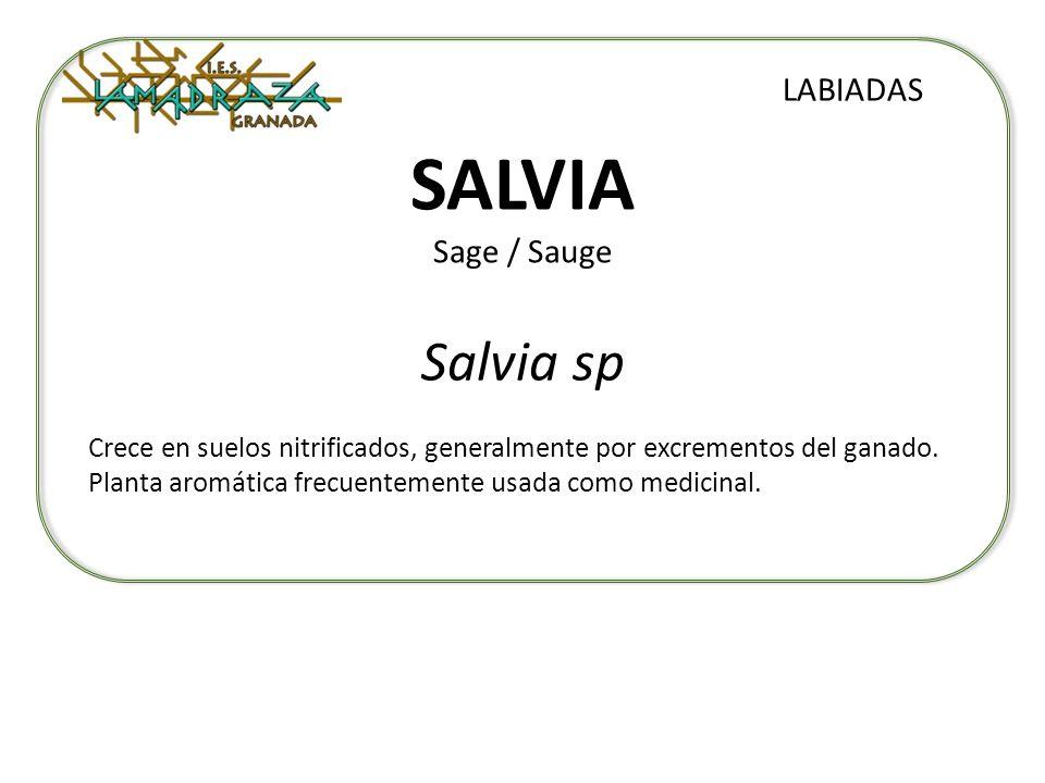 SALVIA Sage / Sauge Salvia sp LABIADAS