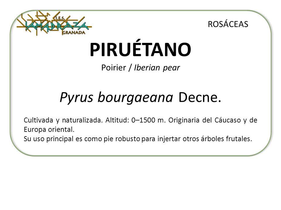 PIRUÉTANO Poirier / Iberian pear