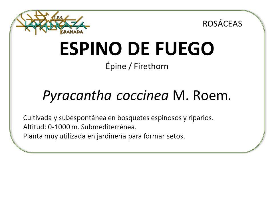 ESPINO DE FUEGO Épine / Firethorn