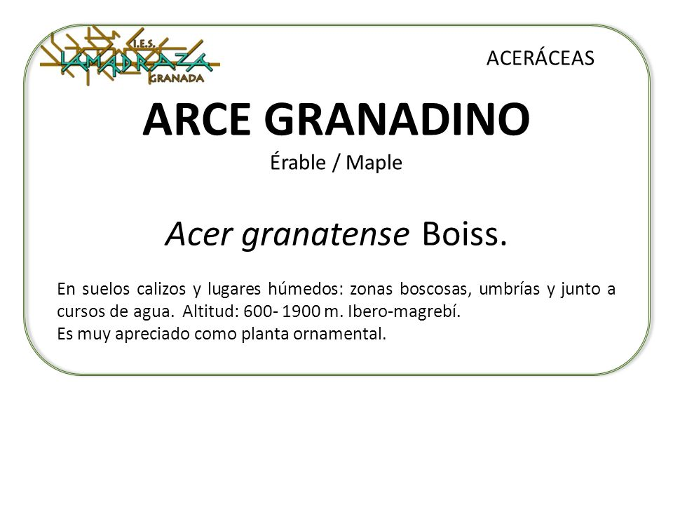 ARCE GRANADINO Érable / Maple