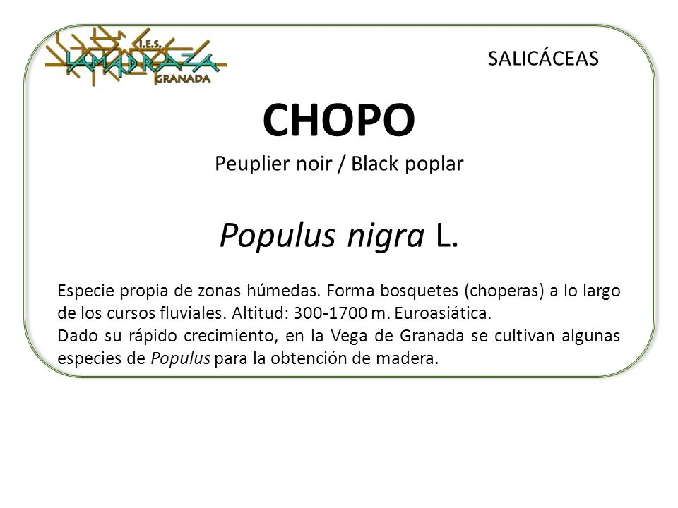 CHOPO Peuplier noir / Black poplar