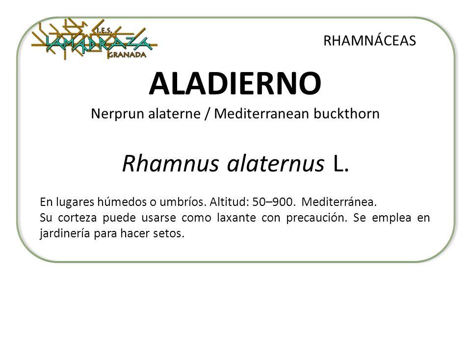 ALADIERNO Nerprun alaterne / Mediterranean buckthorn