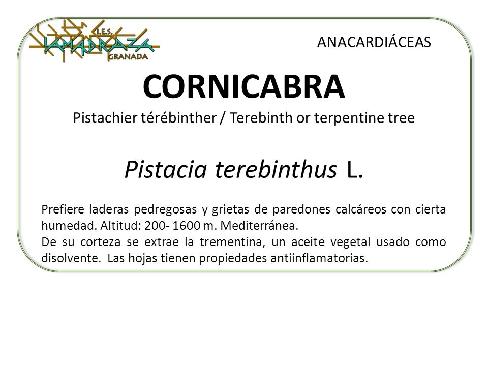 CORNICABRA Pistachier térébinther / Terebinth or terpentine tree