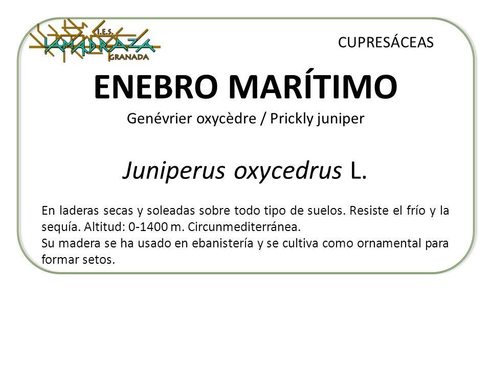 ENEBRO MARÍTIMO Genévrier oxycèdre / Prickly juniper
