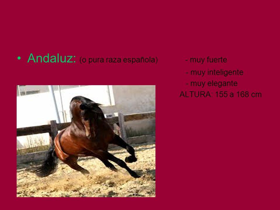 Andaluz: (o pura raza española) - muy fuerte