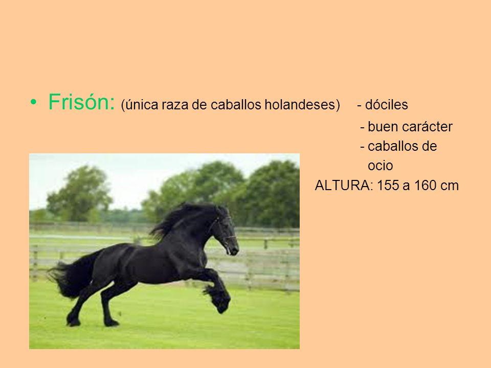 Frisón: (única raza de caballos holandeses) - dóciles
