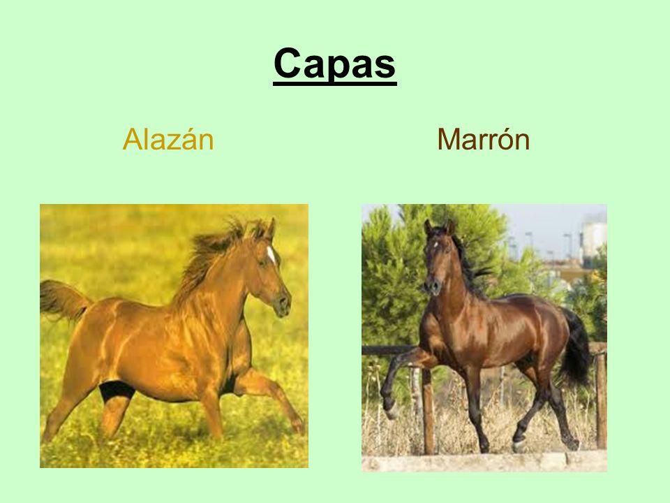 Capas Alazán Marrón