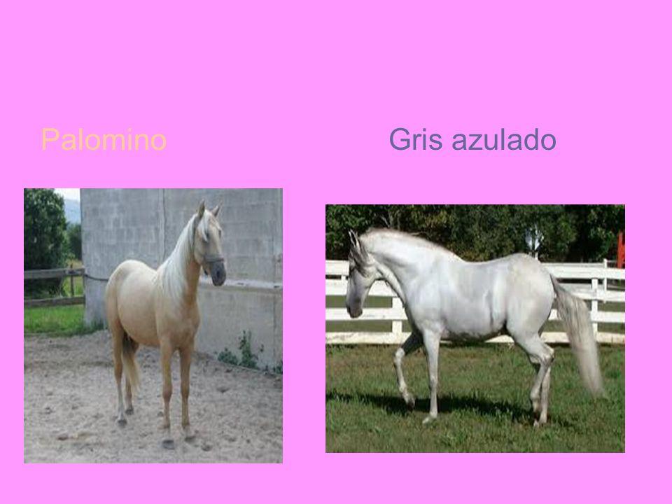 Palomino Gris azulado