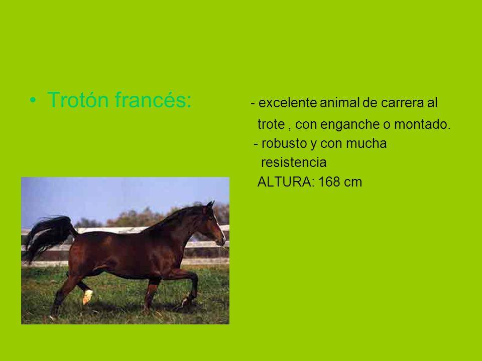 Trotón francés: - excelente animal de carrera al