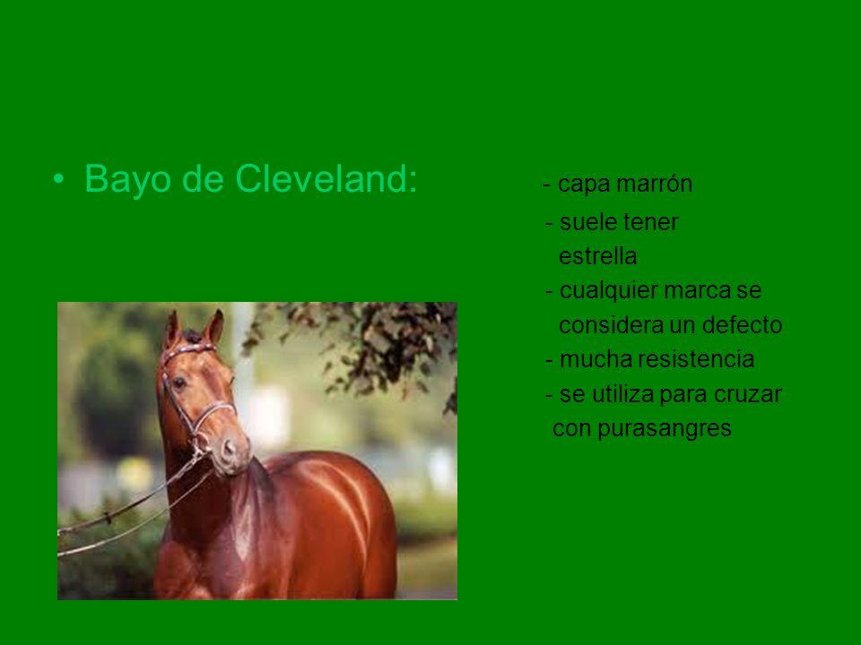 Bayo de Cleveland: - capa marrón