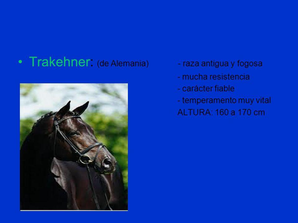 Trakehner: (de Alemania) - raza antigua y fogosa