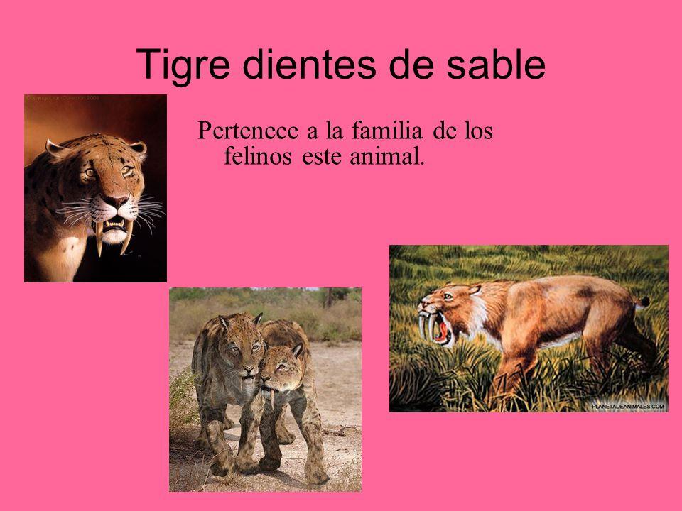 Tigre dientes de sable Pertenece a la familia de los felinos este animal.
