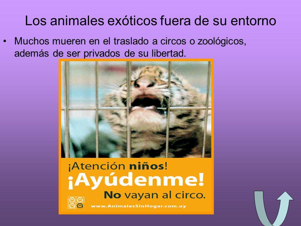 Los animales exóticos fuera de su entorno