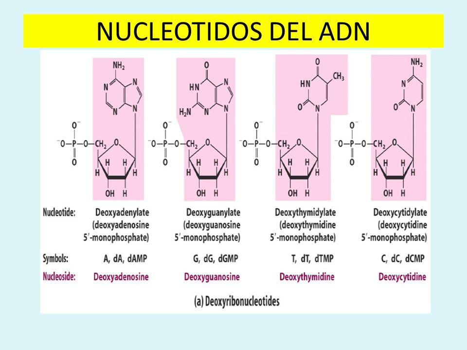 NUCLEOTIDOS DEL ADN