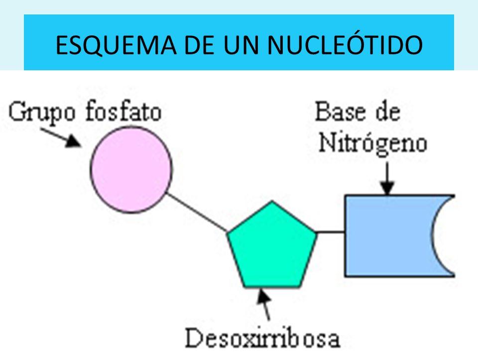 ESQUEMA DE UN NUCLEÓTIDO