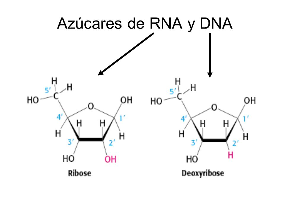Azúcares de RNA y DNA