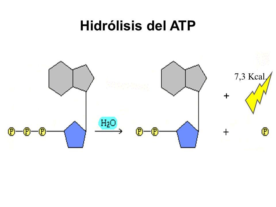 Hidrólisis del ATP 7,3 Kcal. +